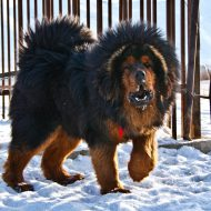 Гигантская собака — тибетский мастив: характер и стоимость собаки