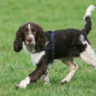 Филд спаниель — описание породы, стоимость щенка и отзывы владельцев