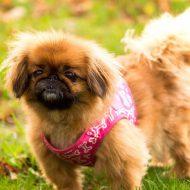 Особенности породы — пекинес, достоинства и недостатки собаки