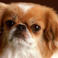 Правила ухода за породой пекинес, плюсы и минусы собаки