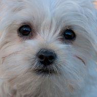 Мальтийская болонка — описание породы и стоимость щенка
