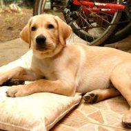 Правила содержания лабрадора: особенности ухода за собакой
