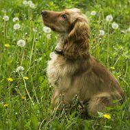 Как правильно подобрать кличку для спаниеля и как не стоит называть пса