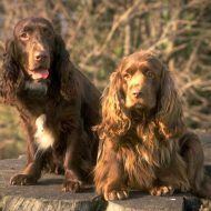 Особенности породы английского кокер спаниеля, уход и содержание собаки