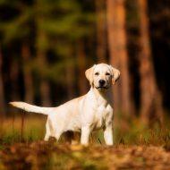 Правила ухода за породой мини лабрадор, цена собаки