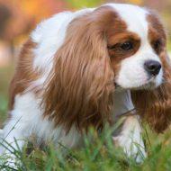 Кавалер кинг чарльз спаниель — характер и уход за собакой