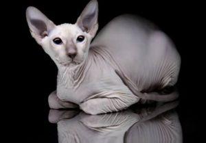 Как ухаживать за котом  породы Сфинкс