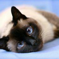 Характер тайской кошки, особенности породы, разновидности окрасов