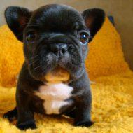 Как выбрать щенка французского бульдога, сколько стоит питомец?