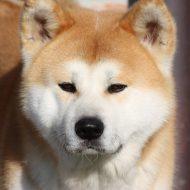 Акита ину мини — преданный друг из фильма «Хатико»