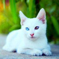 Все о белых котах альбиносах — животных с генетическим сбоем