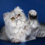 Рекомендации по уходу за персидской кошкой, стоимость котенка