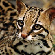 Экзотическая бенгальская кошка с леопардовой расцветкой: внешний вид и характер