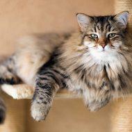 Сибирская кошка: какой характер и поведение ожидать от питомца?