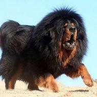 Гигантский плюшевый медведь: тибетский мастиф, характеристика породы