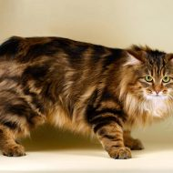 Уникальная кошка курильский бобтейл: лекарь и друг