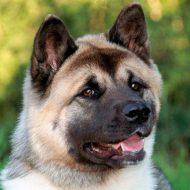 Собака акита американская: история происхождения питомца с удивительно спокойным характером