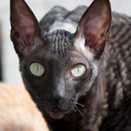 Кудрявый корниш рекс: характеристика внешнего вида и повадков кота