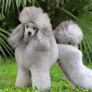 Собака породы средний пудель: сочетание атлетизма, выносливости и ума