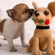 Разновидности чихуахуа: советы по выбору декоративной собачки