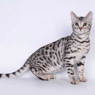 Разнообразие окрасов бенгальской   кошки: фото завораживающих пятнистых мини-леопардов