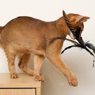 Разновидности окраса у Абиссинской кошки: дикий окрас, фавн и другие редкие масти