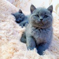 Одна из самых редких пород кошек — Британская прямоухая: описание породы и сложности в уходе