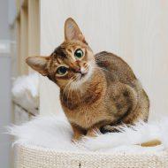 Знакомимся с оригинальной кошкой Абиссинской породы: характер и отзывы владельцев о содержании