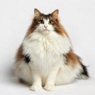 Пушистая любительница холодов — Сибирская лесная кошка: описание породы и отзывы владельцев