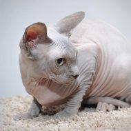 Подробное описание всех разновидностей кошек Сфинксов: отзывы об уходе