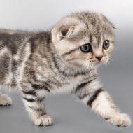 Милые и преданные Шотландские вислоухие котята: уход и питание, характер породы