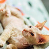 Уникальная и очень редкая порода кошек — Велюровый Сфинкс: описание и характер