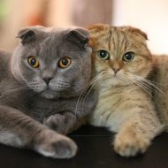 Сравнение самых популярных пород котов — вислоухие Британцы и Шотландцы: в чем разница между питомцами?