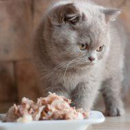 Хранитель домашнего очага — Британский длинношерстный кот: особенности породы