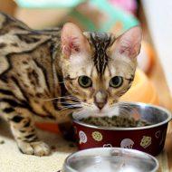 Секреты правильного питания Бенгальских кошек и котят: чем кормить полезно и что категорически запрещено?