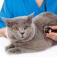 Ответ на самый популярный вопрос любителей Британских кошек — сколько они живут в домашних условиях?