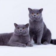 Самые милые в мире домашние питомцы — Британские кошки: характер и отзывы, достоинства и недостатки