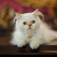Самая пушистая и хмурая порода кошек — Персидская: сколько они живут в домашних условиях, описание