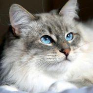 Самые впечатляющие и уникальные окрасы Сибирской кошки: описание породы