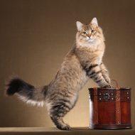 Представляем одну из самых пушистых пород котов — Сибирский: характеристика и правила содержания