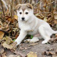 Топ индивидуальных и красивых кличек для собак Лаек девочек и мальчиков