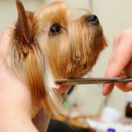 Подробная инструкция — как самой подстричь Йорка в домашних условиях: фото причесок