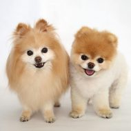 Сравнение двух самых пушистых собак — Немецкий и Померанский шпиц: чем отличаются породы?