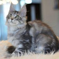 Самая крупная порода кошек — Мейн Кун: окрас в таблице, узоры и отметины