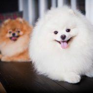 Лохматая и милая собачка — Померанский шпиц: окрасы породы и описание