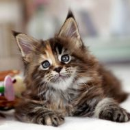 Как интересно назвать кошку породы Мейн Кунов: клички для мальчиков и девочек
