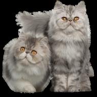 Упрямые и добродушные иследователи — Персидские кошки: сколько живут в домашних условиях?