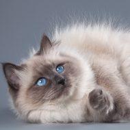 Приспособленные к любым условиям кошки — Сибирский колор пойнт: описание и история породы